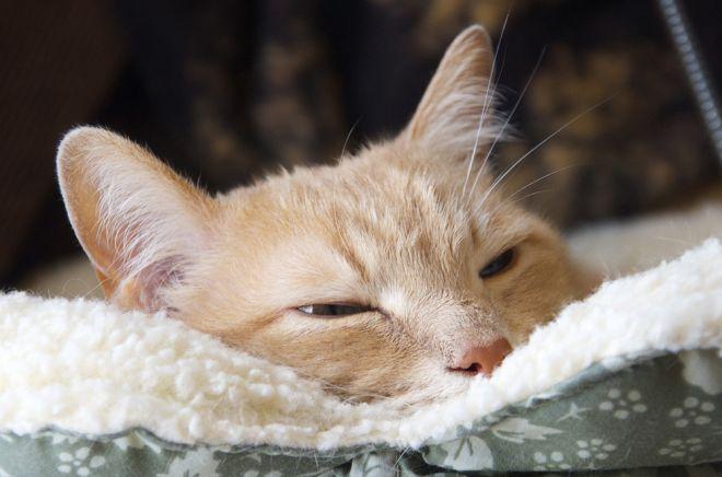 температура у кошки после прививки