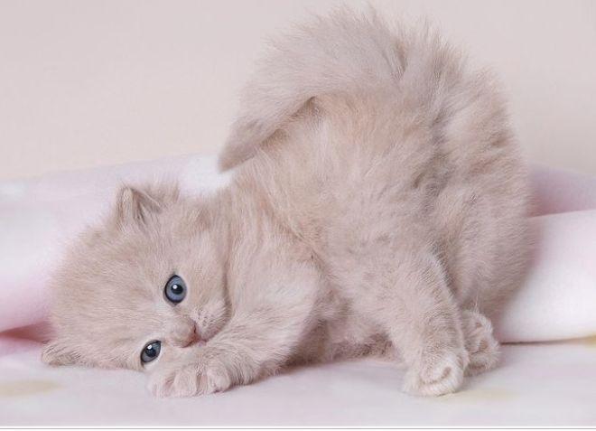 Как котенку сделать родословную 531