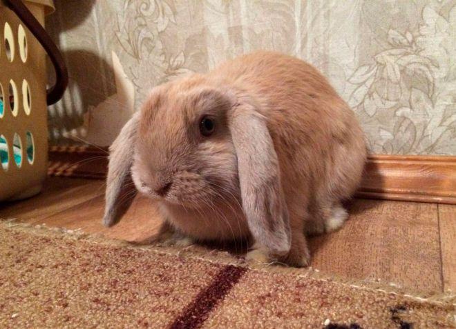 кролик баран описание породы