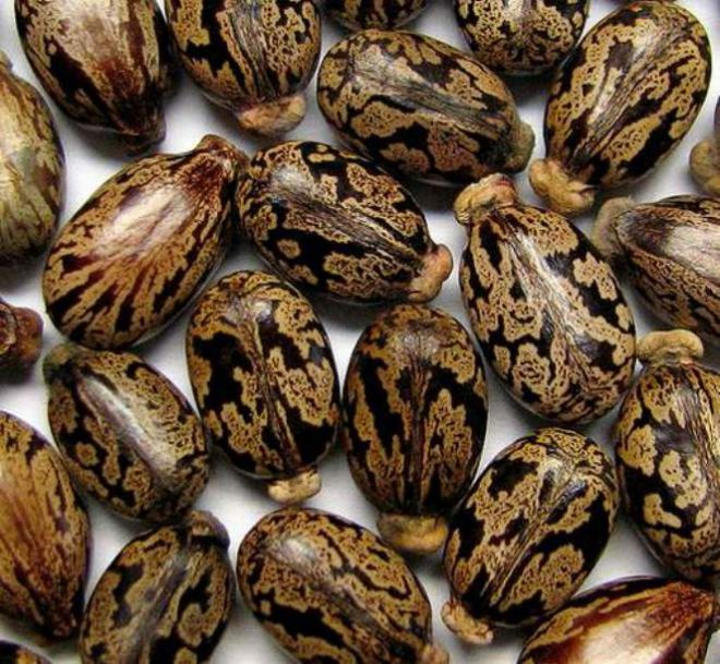 Клещевина - выращивание из семян