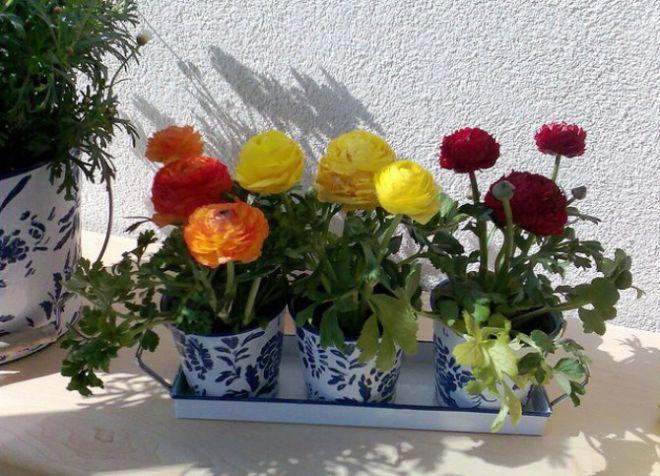 лютики садовые посадка и уход в горшке