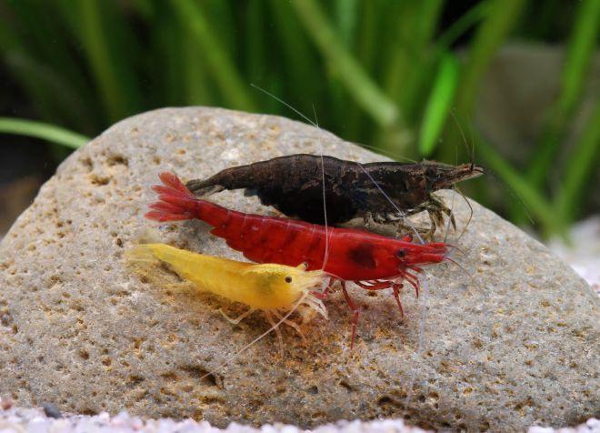 совместимость аквариумных креветок