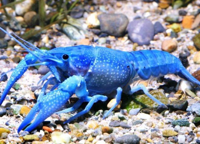 калифорнийский рак в аквариуме