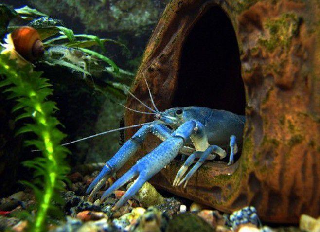 какой аквариум нужен для раков