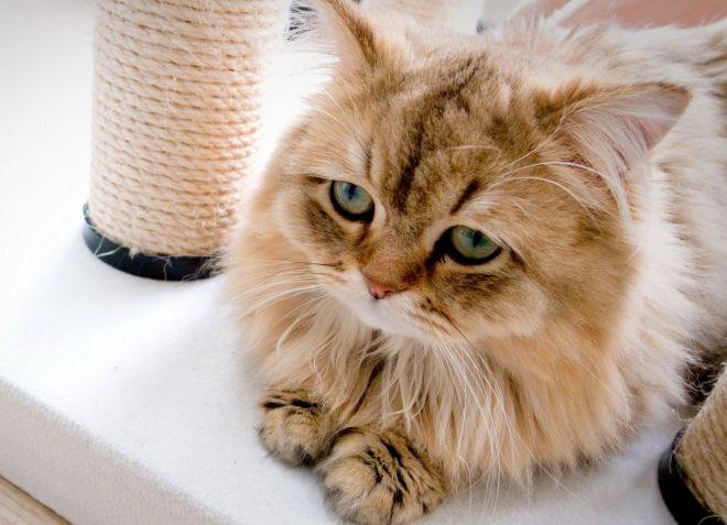 Чем вывести кошачьих паразитов