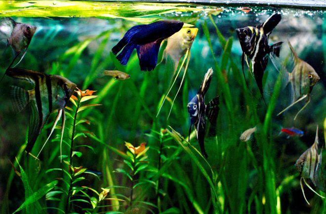 Рыбка петушок - совместимость с другими рыбками