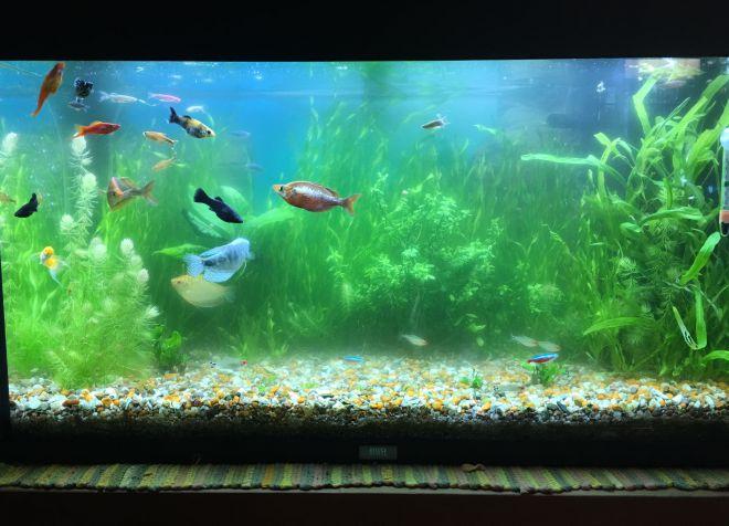 зеленая вода в аквариуме с рыбками