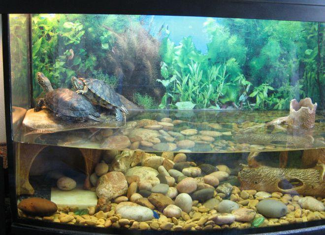 постоянно зеленеет вода в аквариуме с черепахой