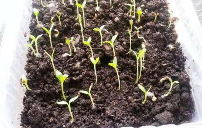 как долго всходит физостегия из семян