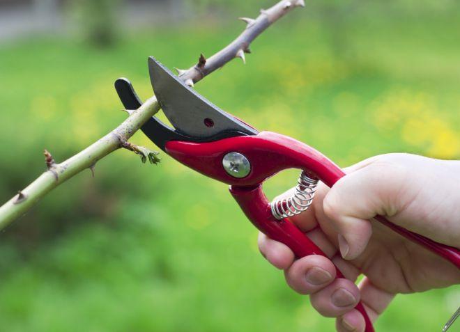 обрезка садовой азалии