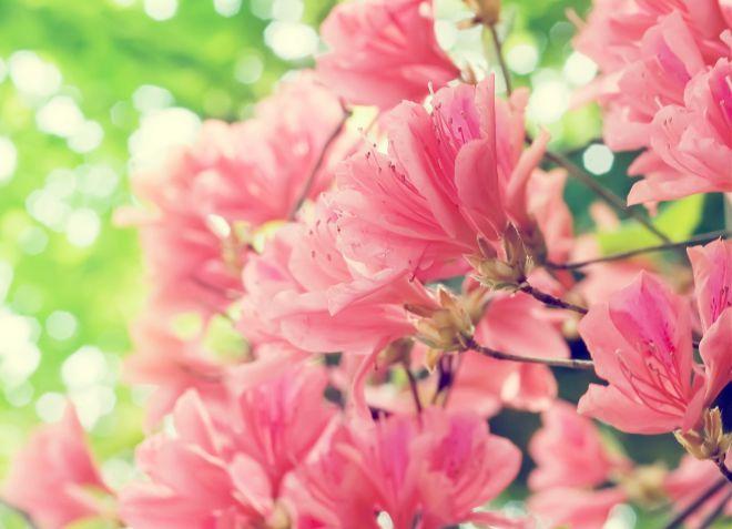 когда цветет садовая азалия