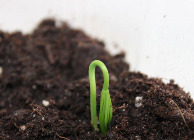 как посадить садовую азалию