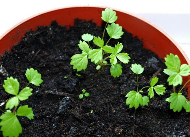 посев клубники на рассаду в январе