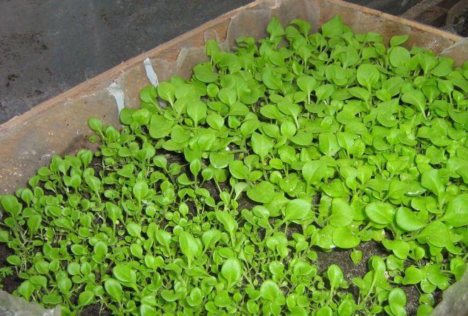 посев петунии в январе на рассаду