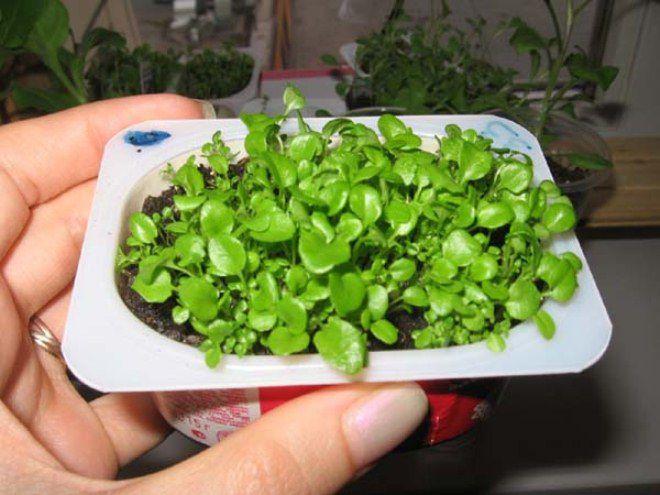 посев лобелии в январе на рассаду
