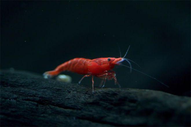 Вишневые креветки в аквариуме