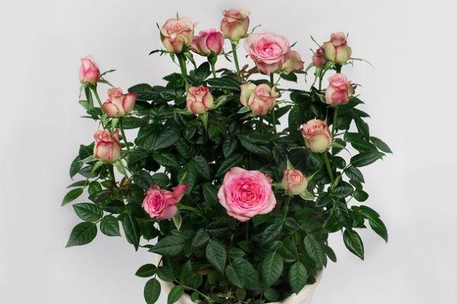 Миниатюрная роза Кордан