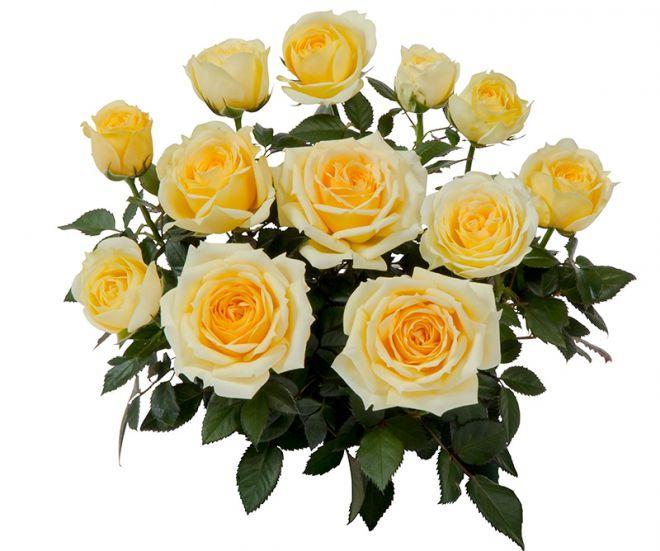Сорта комнатных роз Кордана