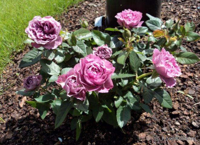 Роза Кордана уход в саду и зимовка