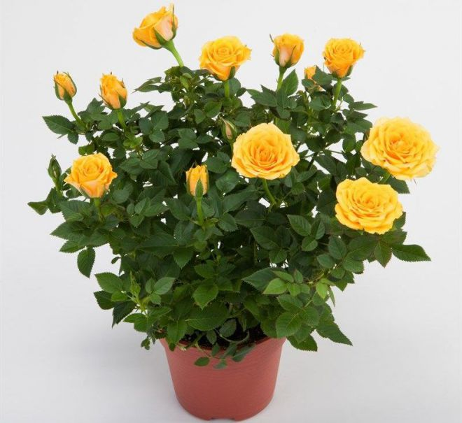 Как размножить розу Кордана