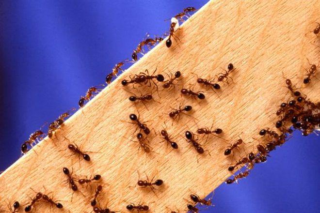 коричневые муравьи в квартире
