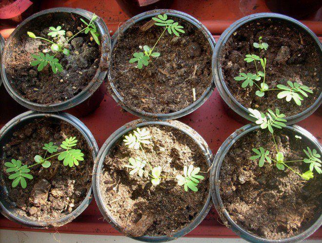 Мимоза Как правильно выращивать в домашних условиях?