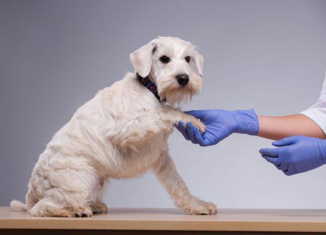 Прививка щенку от чумки