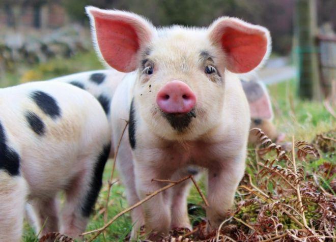 породы свиней для домашнего разведения
