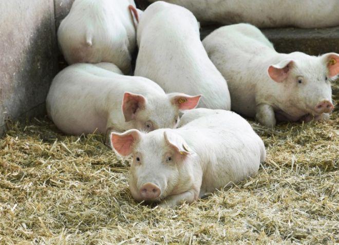 Свиньи Каких выгоднее выращивать в домашнем хозяйстве?