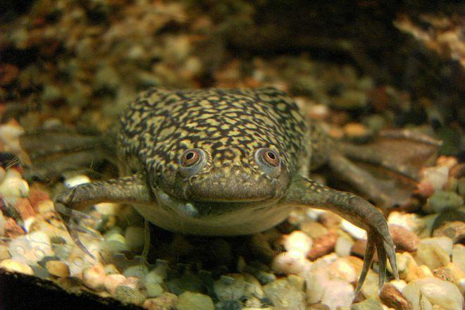 аквариумные шпорцевые лягушки