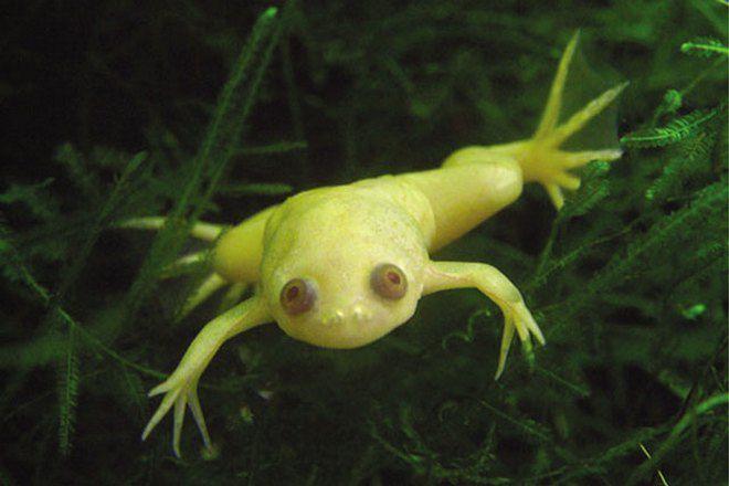 шпорцевая лягушка альбинос