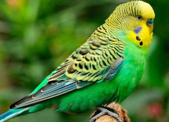 как выбрать молодого волнистого попугая