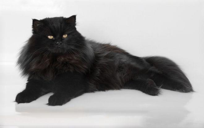 фото кошка черная сибирская