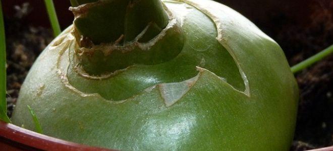 индийский лук что это за растение