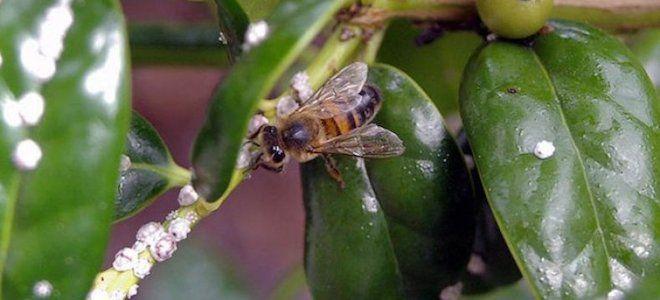 что такое падь в пчеловодстве