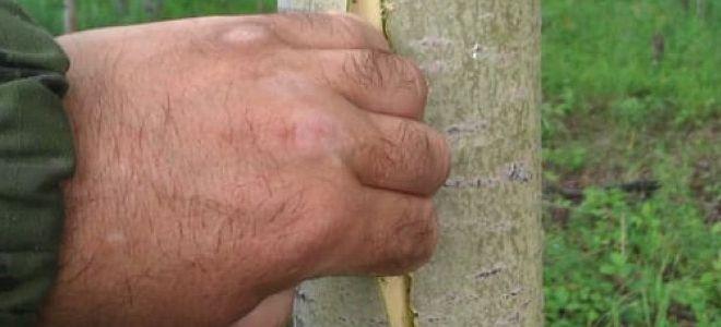 заготовка осиновой коры