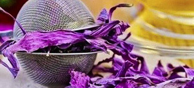 эхинацея пурпурная лечебные свойства и противопоказания