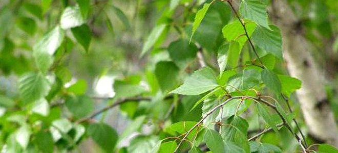 березовые листья лечебные свойства и противопоказания