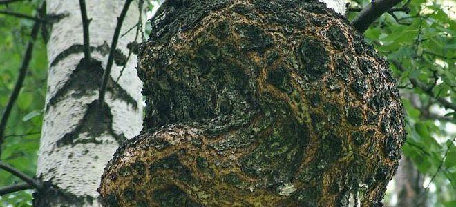 березовый гриб чага полезные свойства и противопоказания