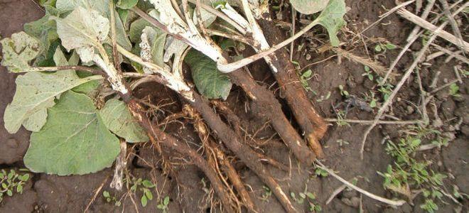 Заготавливаем корень лопуха