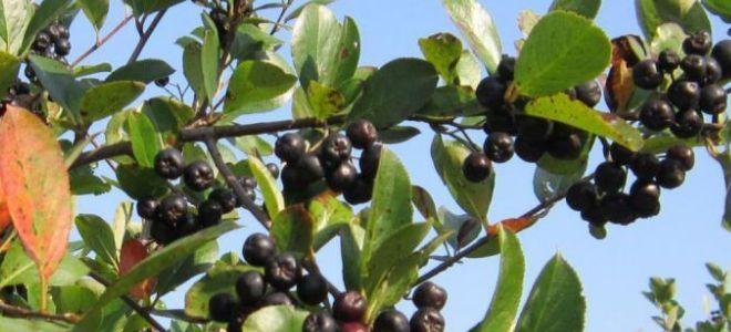 арония черноплодная описание