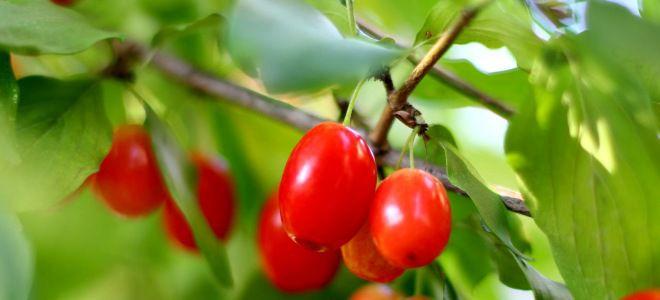 Листья кизила полезные свойства