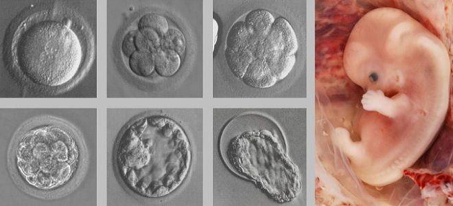 Фото и размеры эмбриона после подсадки