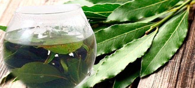 лавровый лист лечебные свойства применение