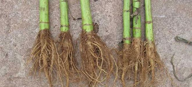 как заготовить корень подсолнуха