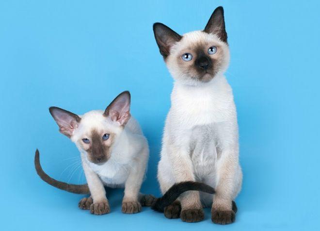 тайская кошка и сиамская отличия