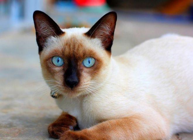 витамины для тайских кошек