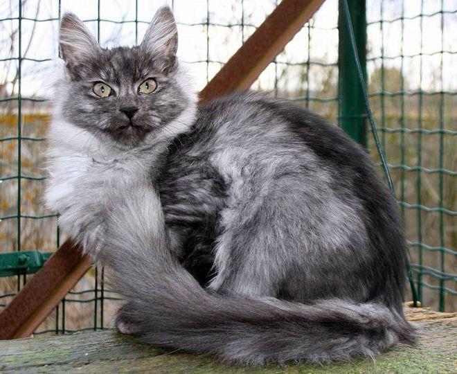 дымчатая ангорская кошка
