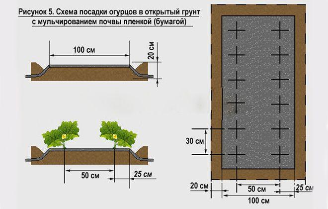 посадка огурцов в два ряда