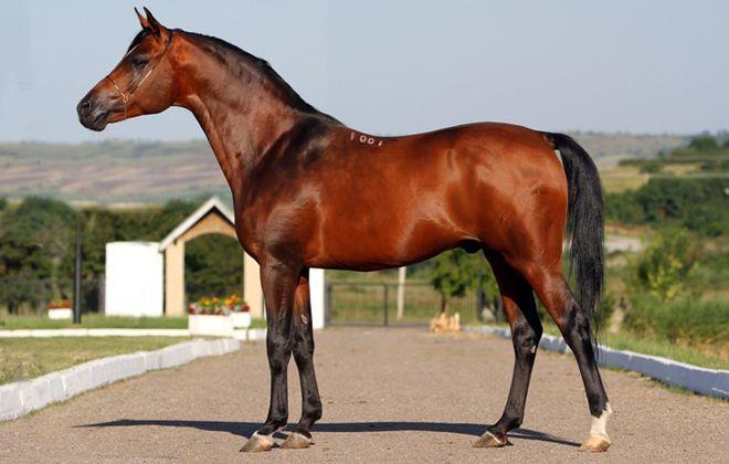 арабская лошадь кохейлан